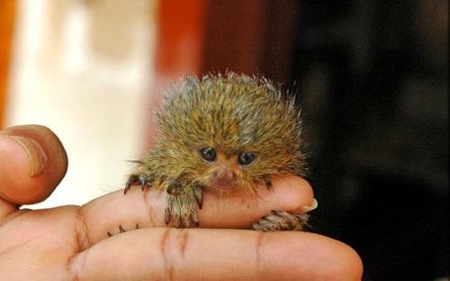 18090_large_baby_pygmy_marmoset
