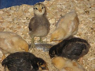 Easter egger bantam chickens - photo#21