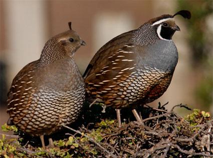 california_quail_pair_sim