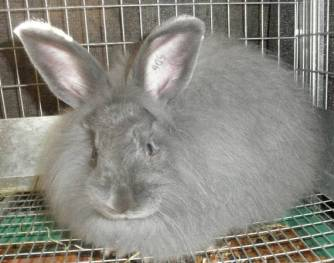 French-Angora-Blue-Buck