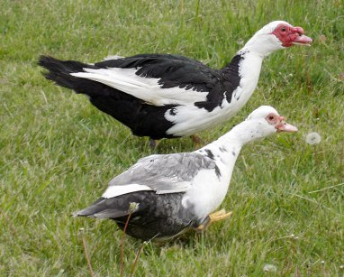 Muscovy-Ducks3068a