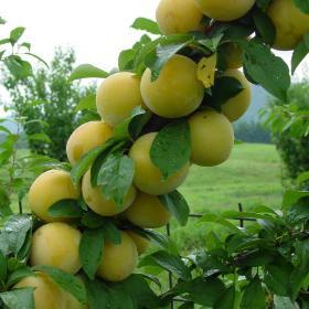 shiro plum