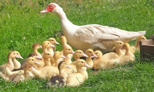 ducklings-1588915_640